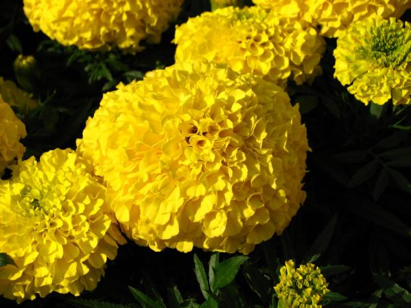 mexican_marigold_flowers